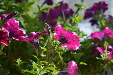 Blooming garden on the balcony. Flowering petunia hybrida.