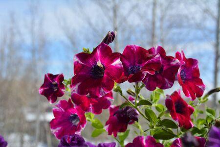 Beautiful flowering petunia hybrida.  Bright magenta flowers. Summer garden on the balcony in march.