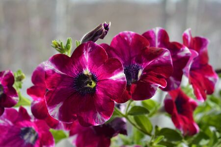 Beautiful flowering petunia hybrida. Close up view. Bright magenta flowers.