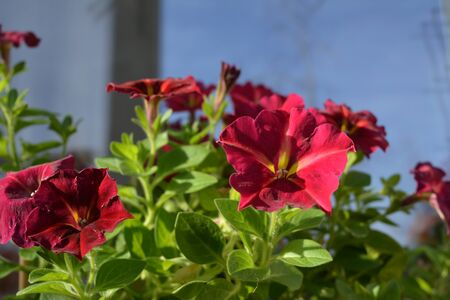 Bright petunia flowers in sunny spring day. Bright garden on the balcony.
