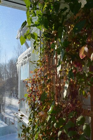 Vertical greening with thunbergia and cobaea on wooden trellis. Balcony garden in march. Summer indoor and winter outdoor.