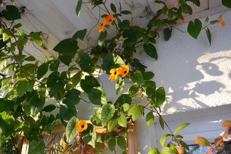 Beautiful thunbergia with orange flowers. Vertical garden on the balcony.