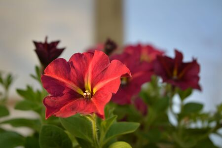 Bright petunia flowers in sunny day. Closeup view.