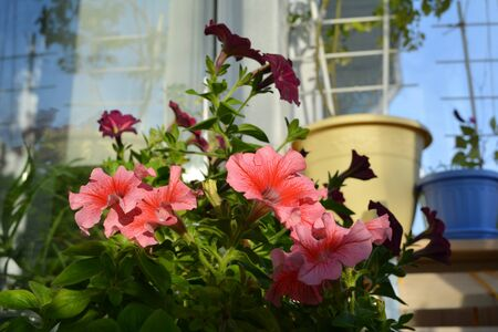 Beautiful petunias and other potted plants in small urban garden on the balcony. Nature in home. Фото со стока