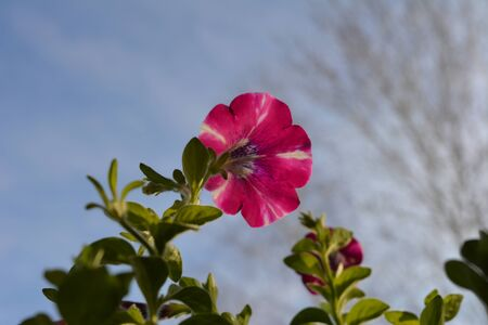 Cute petunia flowers in spring on the background of  blue sky.