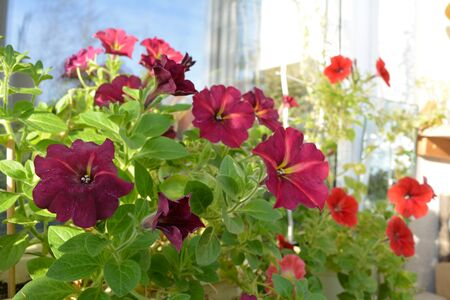 Spring garden on the balcony. Pink and red petunia flowers. Фото со стока