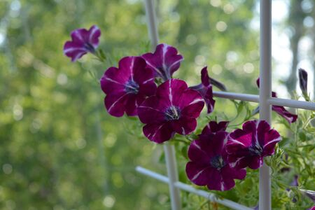 Beautiful petunia flowers on blurred green background. Balcony greening by unpretentious blooming plants. Фото со стока