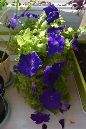 Petunia with many violet flowers grows in flowerpot in small garden on the balcony. Фото со стока