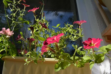 Balcony gardening. Different petunia flowers grow in container. Фото со стока