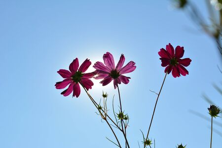 Beautiful cosmos flowers on the background of clear blue sky with sun. Фото со стока