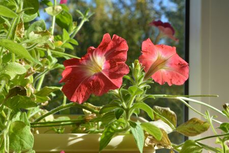 Small blooming garden on the balcony in september. Pink petunia flowers in sunny day. Фото со стока