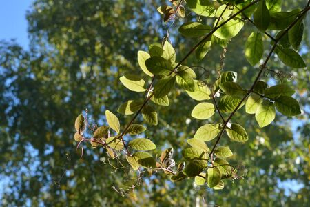 Green leaves of cobaea on the background of trees are lit by the sun. Фото со стока
