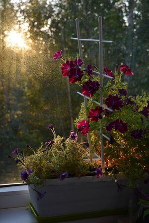 Beautiful petunia flowers are lit by sun in dawn. Small garden on the balcony with potted plants.