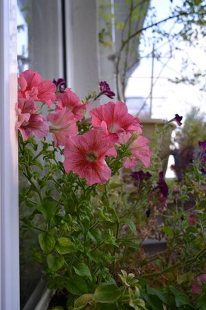 Beautiful pink flowers of petunia in small cozy garden on the balcony.