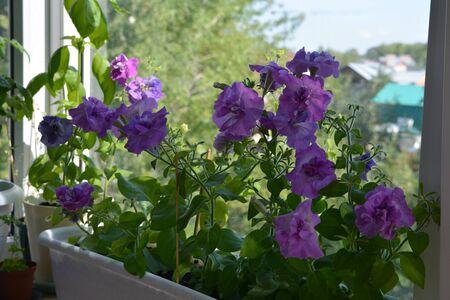 Beautiful flowering petunias grow in container in small urban garden on the balcony. Petunia multiflora double.