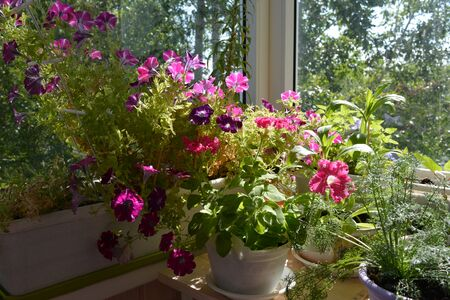 Charming garden on the balcony with blooming petunias and other plants. Nature in home. Фото со стока