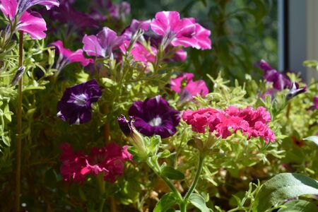 Colorful petunias grow on the balcony for adding bright colors to home garden. Фото со стока