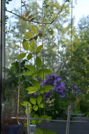 Delicate green leaves of cobaea, backlit by the sun, on the background of blooming garden on the balcony.