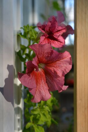 Pink flowers of petunia. Balcony greening with blooming plants.