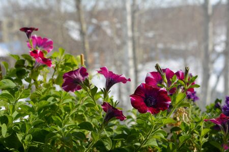 Flowering petunia in the garden on the balcony in early spring. Summer indoor and winter outdoor.