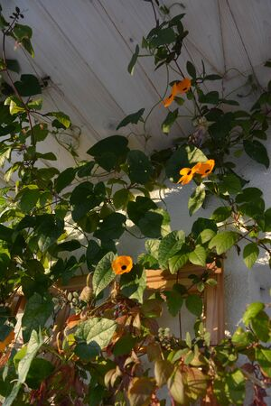 Thunbergia with orange flowers grows near the wall on the balcony. Flowering garden with climbing plants. Фото со стока