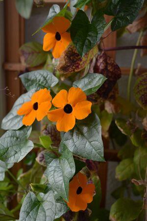 Bright orange flowers of Thunbergia on the background of wooden trellis on the balcony. Black-eyed Susan vine plant. Фото со стока