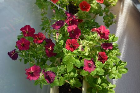 Petunias grow in flower garden on the balcony. Beautiful plants with abundant flowering, vibrant flowers. Top view.