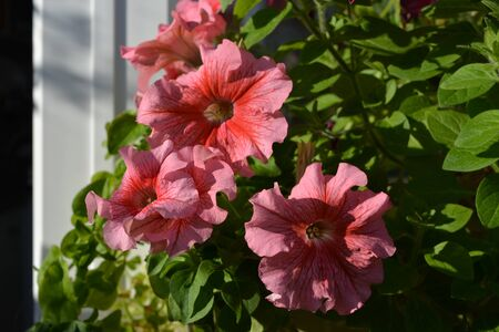 Pink petunias - perfect container plants - grow in small garden on the balcony.