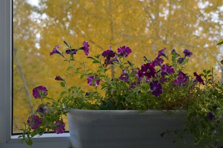 Petunia in container on the background of yellow foliage of trees outside the window. Small flowering garden on the balcony in autumn. Фото со стока