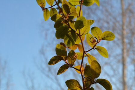 Cobaea stems with leaves are lit by the sun.