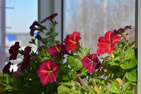 Petunia flowers in small urban garden on the balcony in summer day. Bright vibrant flowering plant. 版權商用圖片