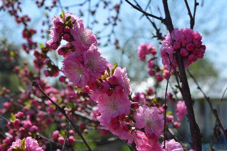 Bright pink flowers of Prunus triloba. Blooming tree in spring garden.