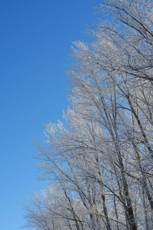 Forest in winter with trees in hoarfrost on the background of blue sky. Christmas scene.