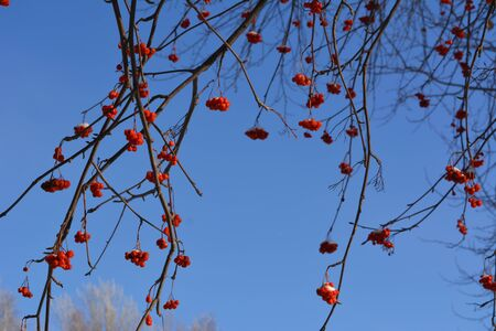 Rowan branches with red berries on the background of clear blue sky.