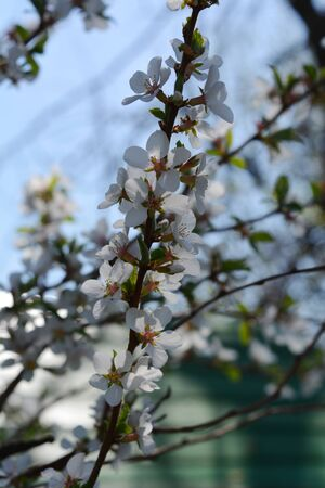 Flowering nanking cherry in spring country garden. Delicate flowers. 스톡 콘텐츠