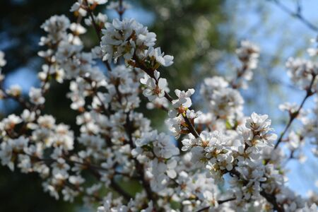 Blooming nanking cherry in spring. Many beautiful flowers on branches. 스톡 콘텐츠