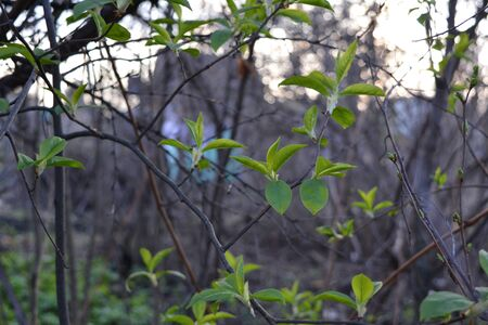 Fresh leaves of bird cherry in spring garden. Elegant interlacing of branches.