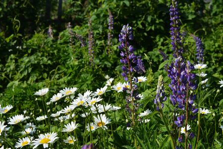 Beautiful summer meadow with violet lupin and white daisy flowers. Country garden in the summer.
