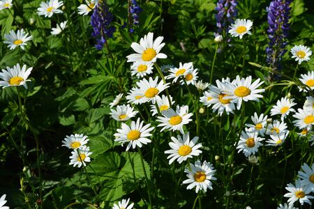 Summer meadow with beautiful flowers - white daisies and violet lupines.
