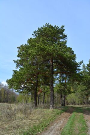 Large pines grow near the road at the edge of the forest.