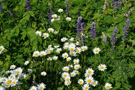 Beautiful flowering field in summer. White daisy flowers and violet lupins.
