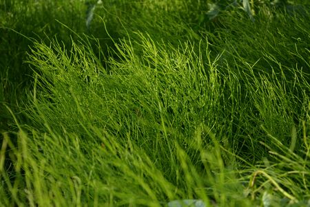 Lush green horsetails in summer. Equisetum. Фото со стока