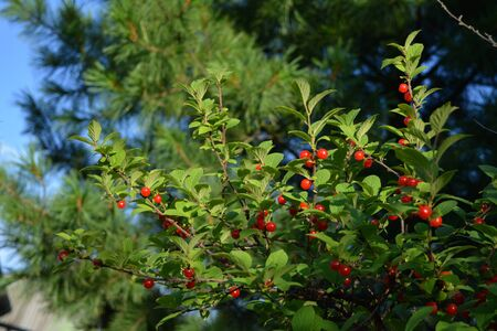 Nanking cherry with bright red berries and green leaves. Summer garden. Фото со стока