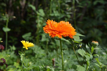 Bright orange calendula flower on green background. Marigold flower in summer garden.