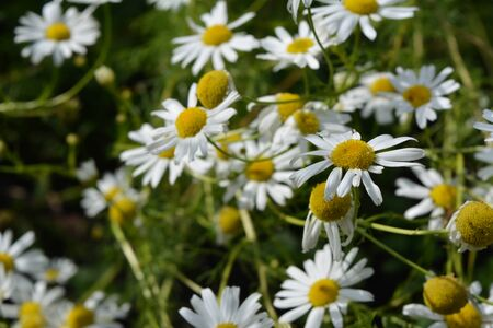 Daisy flowers in summer. Top view on chamomile flowers with white petals and yellow cores.