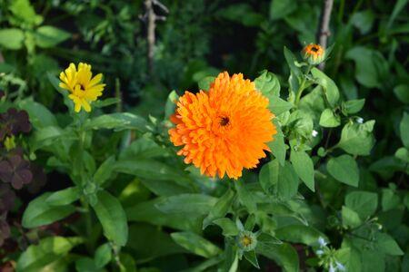 Orange calendula flowers. Blooming marigold in summer garden.