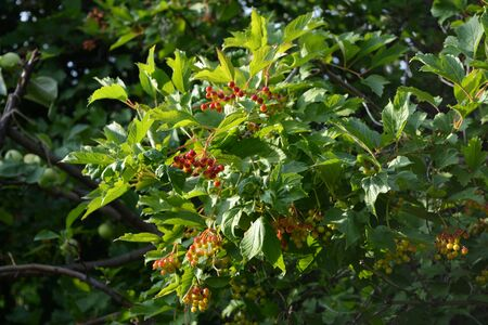 Viburnum bush with ripening berries. Garden in the july.