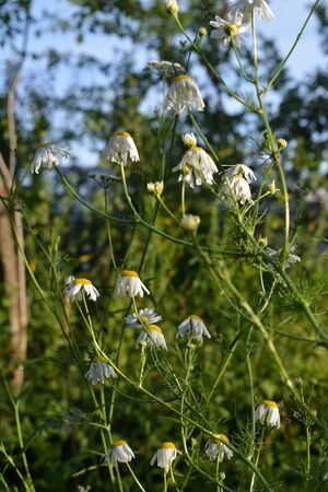 Flowering chamomile in summer sunny day. Small flowers with white petals and yellow cores.