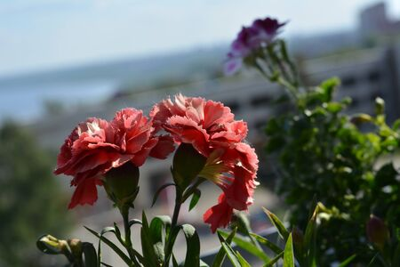 Beautiful carnation flowers on blurred background of city. Small garden on the balcony.