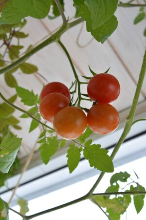 Ripe tomatoes in spring. Vegetable garden on the balcony.